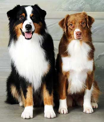 moon rise australian shepherd zucht welpen aussies. Black Bedroom Furniture Sets. Home Design Ideas